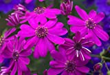 Florists Cineraria Seed Pericallis hybrida Seeds DIY Home And Garden Decor 100 Seeds 20#32800251882ST