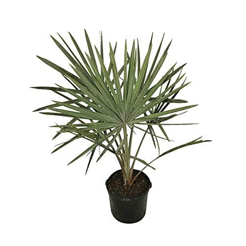 PlantVine Bismarckia nobilis 'Silver', Bismarck Palm - Extra Large - 12-14 Inch Pot (7 Gallon), Live Plant by PlantVine (Image #6)