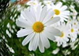 100 HEATH ASTER (White Prairie Aster) Aster Ericoides Flower Seeds