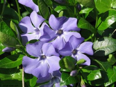 Classy Groundcovers - Periwinkle 'Traditional' Common/Creeping Periwinkle/Myrtle, Creeping Myrtle {50 Bare Root Plants} by Classy Groundcovers (Image #7)