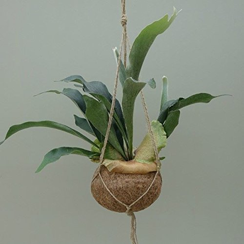 Staghorn fern Hanging Kokedama. Rarely offered jungle house plant. Platycerium Perfect Plants