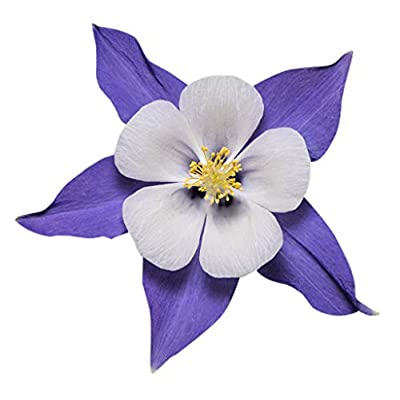 2800 Blue Dream Columbine Seeds - A Favorite Perennial Wildflower and State Flower of Colorado : Garden & Outdoor