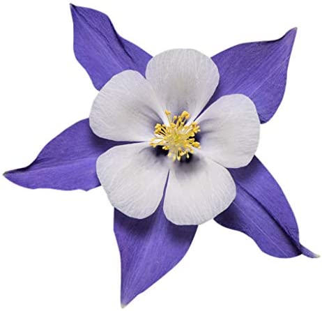 Amazon Com 2800 Blue Dream Columbine Seeds A Favorite