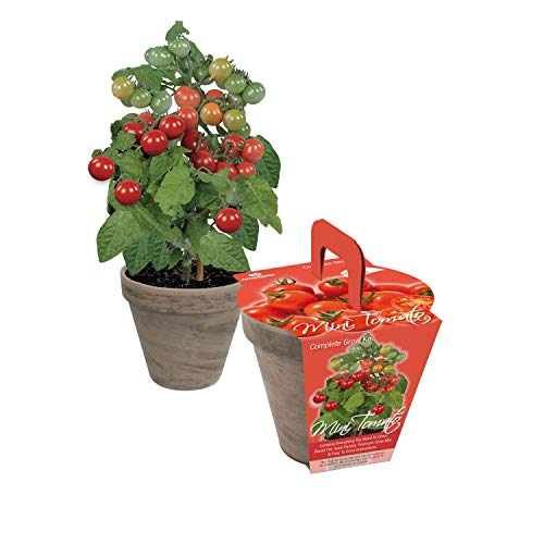TotalGreen Holland Special Mini Tomato Grow Kit | Grow Fresh Mini Tomato Seeds Indoors | Great Gift Item | Grow Your Own Mini Tomato Plants in Unique Basalt Pot | Exclusive Kit by TotalGreen Holland by TotalGreen Holland (Image #3)