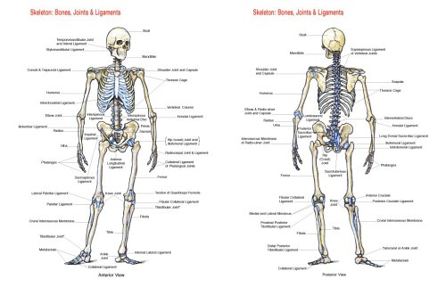 Skeleton bones joints and ligaments chart flash anatomy skeleton bones joints and ligaments chart flash anatomy 9781878576200 amazon books ccuart Gallery