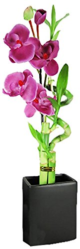 Set of 2 Live Spiral 3 Style Lucky Bambo with Artifical Orchid Flower Tall Rectangular Black (Elegant Spiral Seed)