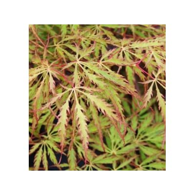 Green Hornet Weeping Japanese Maple 3 - Year Live Plant : Garden & Outdoor