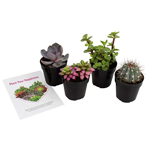 - Altman Plants Assorted Live Succulents Fairy Garden Collection Colorful mini plants for DIY terrariums, 2.5