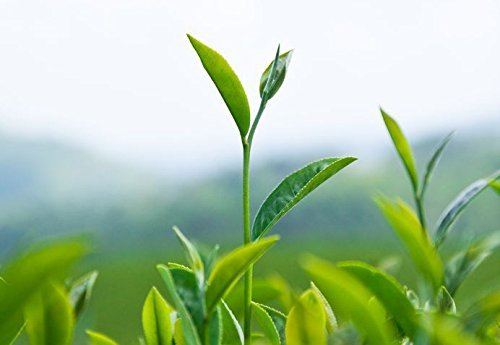 Camellia Sinensis - 1 Gallon Container - Large & Beautiful Live Tea Plant - Brew Your Own Black, White, Green & Oolong Tea by Florida Foliage (Image #4)