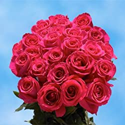 75 Fresh Cut Hot Pink Roses for Valentine's Day | Versilia Roses | Fresh Flowers Express Delivery | The Perfect Valentine's Day Gift