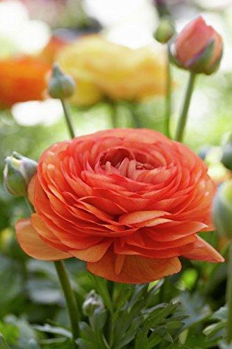 Van Zyverden Butter Cups - Ranunculus Double Tangerine- Set of 25 Bulbs, Orange - Ranunculus Bulbs