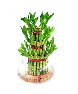 The Royal Palm Lucky Bamboo Indoor Plant with Pot - Three Layer Live Bamboo Plant in Glass Bowl Office/Home Decor