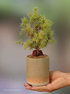 Amazon.com: Christmas Tree Spruce Conifer Bonsai, also as a ...