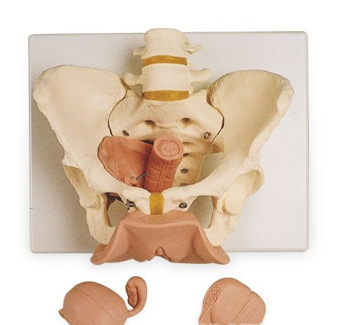3B社 骨盤模型 骨盤生殖器付3分解モデル女性 (l31)   B003Z2Q2W0