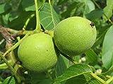 7 Seeds of Juglans regia Carpathian, Carathian English Walnut