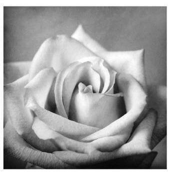 8x8 Poster Print White Rose
