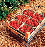 Strawberry Sarian Red, Fragaria x ananassa, 50 Hybrid Seeds by David's Garden Seeds