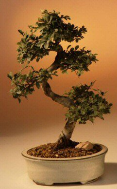Bonsaiboy Chinese Elm Bonsai Tree - Large Curved Trunk Style Ulmus Parvifolia