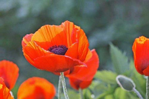 2500 Oriental Poppy Flower Seeds - Prince of Orange