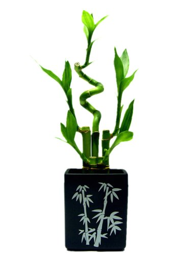 Betterdecor- 1 Set ( 5 Stalks) of Lucky Bamboo Arrangement in Square Ceramic Vase for Fengshui or Gifts