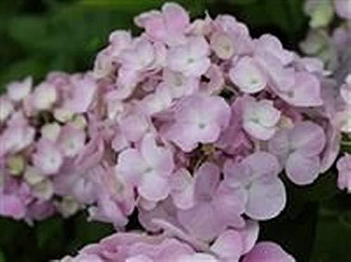 Plant in 9 cm Pot Hydrangea macrophylla La France
