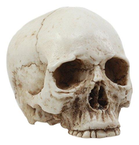 (Ebros Small Half Jaw Homo Sapiens Skull Figurine Miniature Skull Cranium Sculpture)