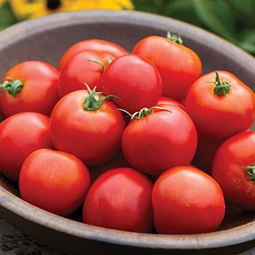 Burpee 'Jersey Boy' Hybrid | Beefsteak Slicing Tomato | Heirloom Flavor | 25 Seeds