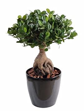 Bonsaï artificiel arbre miniature Ficus Panda Ginseng - plante d ...