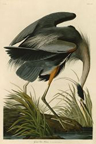 Great Blue Heron by John James Audubon Wildlife Bird Animal Nature Poster (Choose Size of Print) - Pictures Great Blue Herons