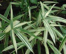 2 FEET Dwarf White Stripe Bamboo Plant Rhizome SALE