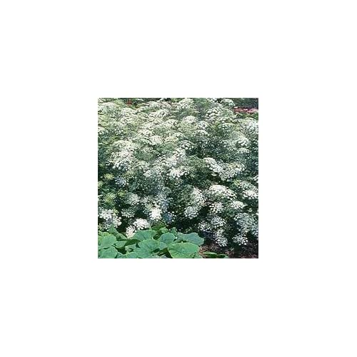 #1140-A Queen of Africa Lace*15 SEEDS*E-Z GROW*SHOWY*#1140-A