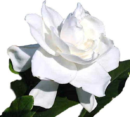 Summer Snow Gardenia - Cape Jasmine - Live Plant - Quart Pot