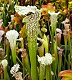 Sarracenia leucophylla Citronelle - pitcher plant cultivar Citronelle - 5 seeds