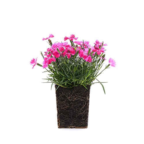 - Plants by Post Dianthus Ever Last 4-Inch 4