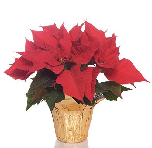 Hallmark Poinsettia (Hallmark Live Poinsettia Container, Red, 4 Inch)
