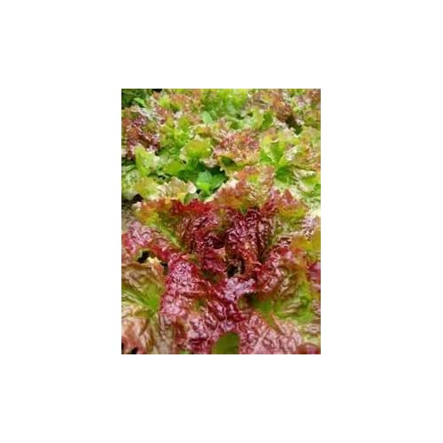 Juju's Garden Red Leaf Lettuce Prizehead- 250 Seeds supplier