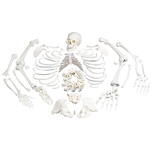 3B Scientific Disarticulated Human - Scientific 3b Arm Skeleton