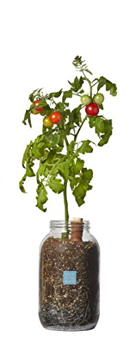 Back to the Roots Grow Your Own Organic Cherry Tomato Kit. Self-Watering Tomato Pepper Planter.  DIY Indoor Garden.  Grow Edible Tomatoes for Gourmet (Garden In A Jar)