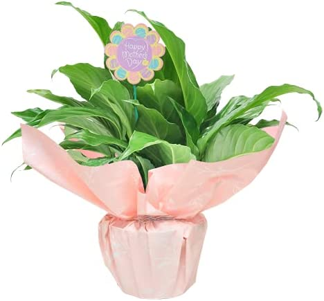 Costa Farms Peace Lily Spathiphyllum, Live Indoor Plant Decorated in Mother's Day, 15-Inch, Everyday Gift-Wrap