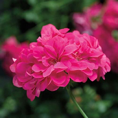 Ivy Geranium - Contessa Pink - Zonal - 2 Plants - 4