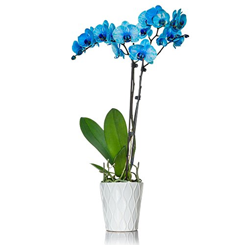 Florists - Blue Orchid in 5 inch White Container - Live Indoor Orchid (Florists Blue)