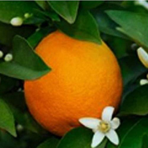 Dwarf Blood Moro Orange Tree Citrus 1 Tree Grow Your Own Oranges Plant R1