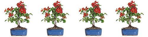 Brussel's Live Japanese Red Quince Outdoor Bonsai Tree - 3 Years Old; 10'' to 12'' Tall with Decorative Container (4-(Pack)) by  (Image #2)