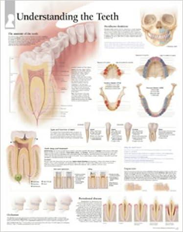 Understanding The Teeth chart Wall Chart