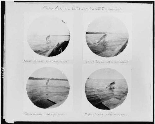 Photo: Tarpon fishing,big game,boats,ships,Estero Bay,Charlotte Harbor,Florida,FL,1890