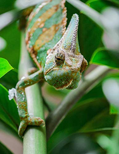 Notebook: Chameleon animal green lizard insects changing color reptile reptiles insect lizards scales