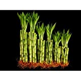 """KL Design & Import - 60 Stalks of Straight Lucky Bamboo (20x4"""", 20x6"""" and 20x8"""")"""
