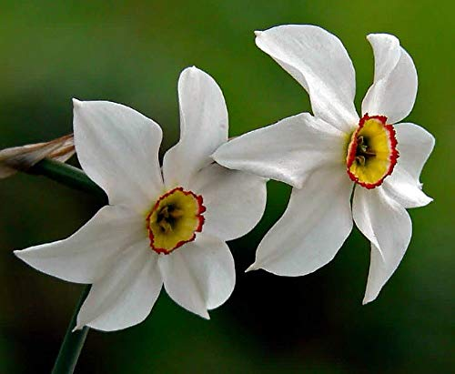 (HIGH Germination Seeds:Original Poet's Daffodil - 8 Bulbs - asant's Eye Narcissus - 16/+ cm Bulbs)