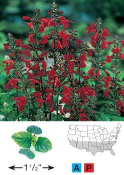 David's Garden Seeds Wildflower Salvia Scarlet Sage D3240 (Red) 1000 Open Pollinated Seeds
