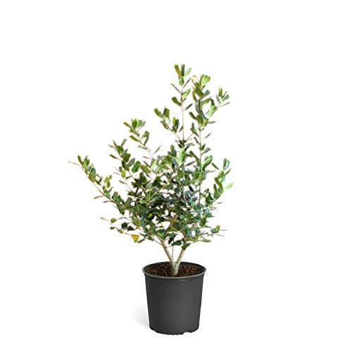 Nellie Stevens Holly Trees- Dense Evergreen Privacy Trees with Advanced Root Systems, not Seeds or saplings- Large, Tall Holly Trees - 2-3 ft. | Cannot Ship to AZ (Ilex Nellie R Stevens Evergreen Holly Shrub)